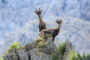 animal, mountain goat, mammal-6603587.jpg
